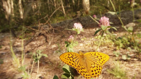 spotted a bright orange butterfly in the sun on clover Macro Footage
