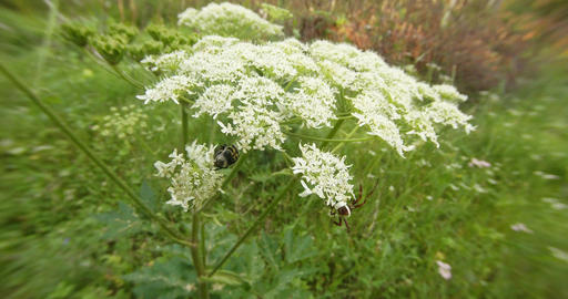 spider crawled to look at mating season the brown-spotted beetle on a white flow Footage