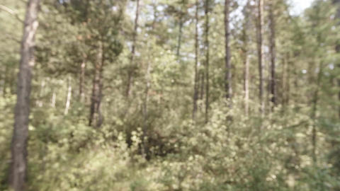 small midge flies flock in a forest in defocusing Footage