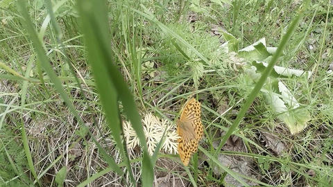 butterfly old man dies slowly in the grass on the ground Footage