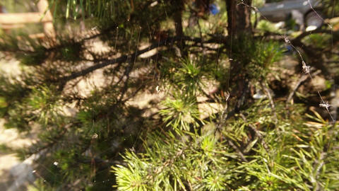 A Small Worm Entangled In A Web On A Background Of Pine Branches stock footage