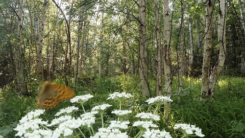spotted butterflies flying over a huge white flower in the forest sun, beetle Footage