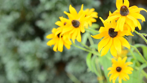 Yellow Echinacea (Rudbeckia) Footage