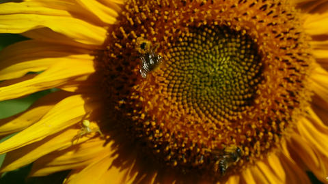 Sunflower and 2 bee Footage