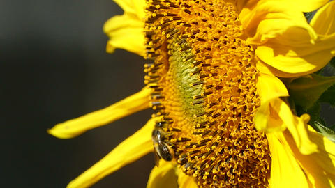 Sunflower and bee side view Footage