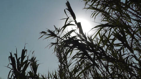 Sun Through Waving Reeds By The Wind stock footage