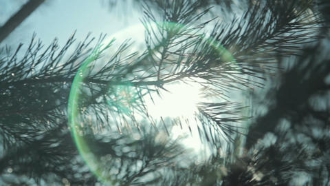 Coniferous branch with sun light Footage