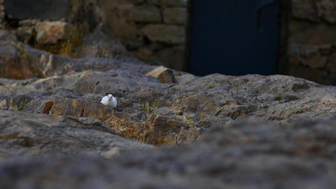 White Bird Walking Amongst the Rocks Footage