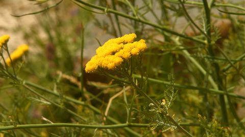 Yellow Flowers Blowing Violently In The Wind stock footage