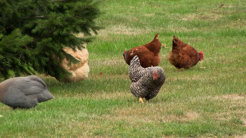 Guinea fowl & Chickens Footage