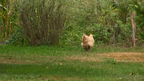 Free range chicken Footage