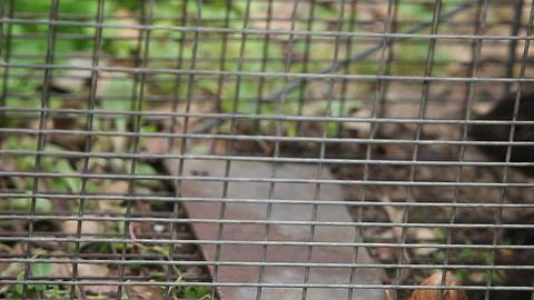 black squirrel in a trap Footage