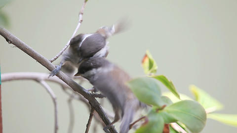 hungry baby bird wants to be fed Footage