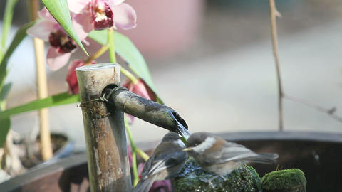 two baby chickadees play in fountain Live Action