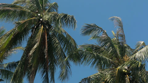 Coconut palm foliage swinging in wind Footage