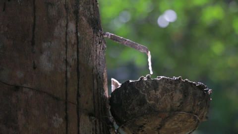 Natural Rubber Dripping In A Cup At A Rubber Tree Plantation stock footage