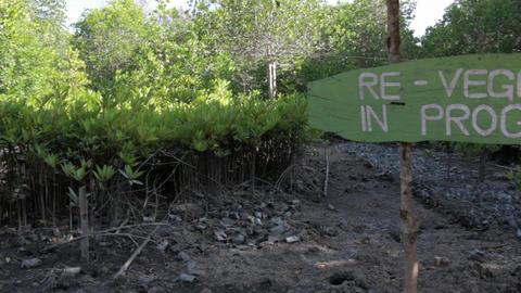 Re-vegetation of mangrove trees Live Action