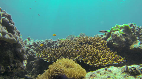 Various colorful fish swimming around sea anemone and corals Live Action