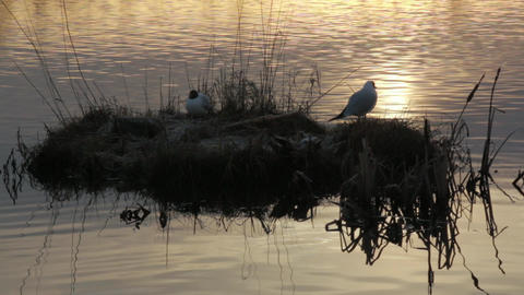 Black-headed gulls in early morning backlight Footage