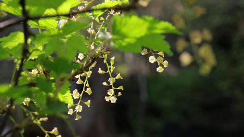 Redcurrant shrub with white flowers swaying Footage