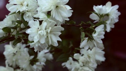 Blooming jasmine Stock Video Footage