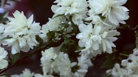 Blooming jasmine Footage