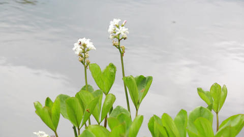Bogbeans flowering with water background Footage