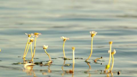 Flowering water plants swaying on the waves Footage