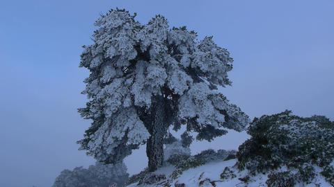 Scots pine Live Action