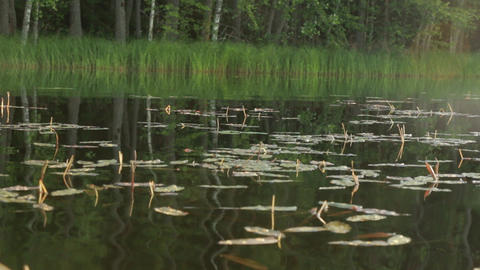 Floating pondweed leaves on calm water surface Live Action