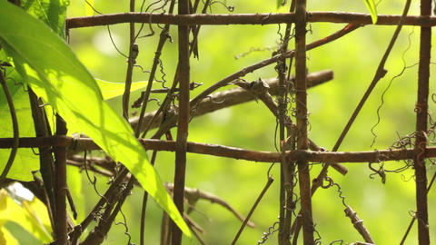 Iron net fence with creeper plant with dried sprouts Live Action
