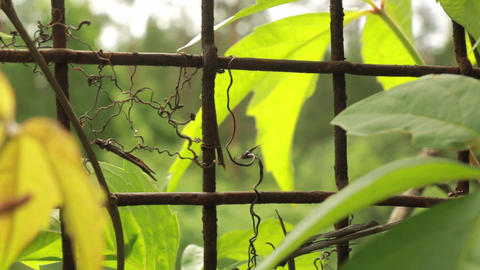 Creeper plant and iron net fence close-up shot Footage