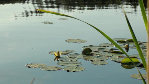 White waterlily with floating leaves floating on small waves Footage