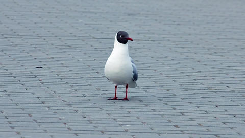 Seagull On Concrete Pavement stock footage