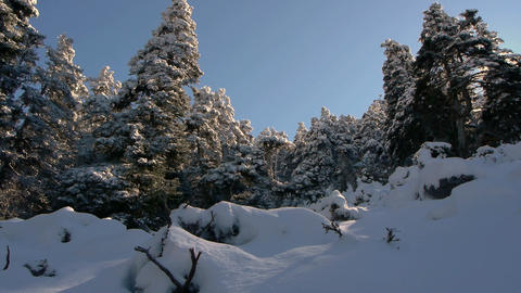 Abies Pinsapo In The Sierra De Las Nieves stock footage