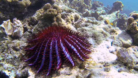 Large Crown-of-thorns starfish on a coral reef Live Action