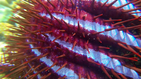 Spines of crown-of-thorns starfish Live Action
