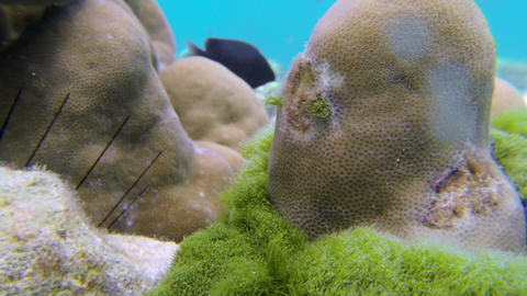 Close-up shot of seaweed covering the coral reef Live Action