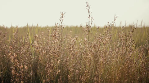 tall grass swaying in the wind Footage