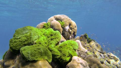 Green seaweed covering coral Footage