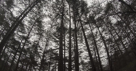 view from the ground to the sky in thick coniferous mountain forest many trees Footage