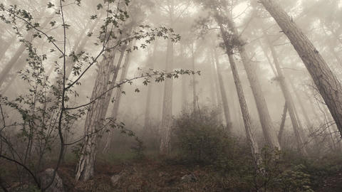 Mountain Spring high pine forest in the dense thick fog... Stock Video Footage