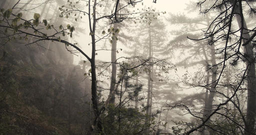 dense fog in the thickets of mountain pine forest Footage