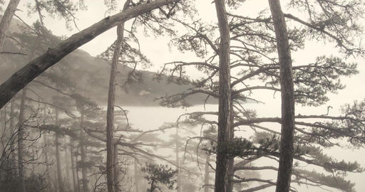 mist-shrouded mountain pine forest thicket Footage