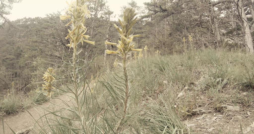 yellow wild flowers in spring pine forest in the mountains Footage
