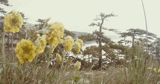 yellow flowers in the misty mountains grow conifers Footage