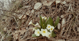 early spring white wild mountain flowers in the dry grass and pine needles in th Footage