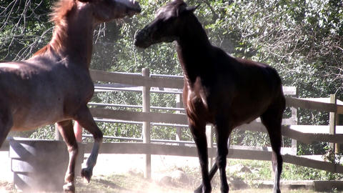 Two horses play, flirt and get frisky in the sunlight as they kick up dust in th Footage