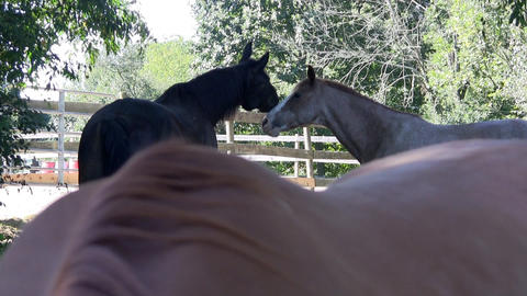 Two horses flirt and play in the shade on farm with wooden fence corral and tree Footage