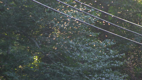 Gnats flying above wooded road with backdrop of trees near telephone wires Footage